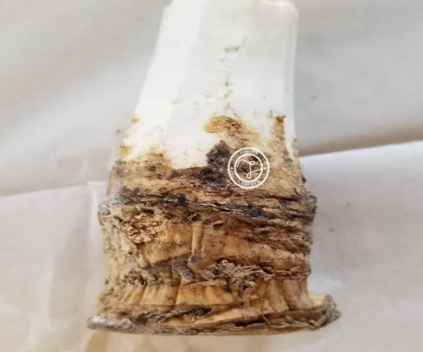 Horseradish root peeled